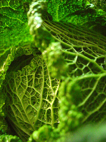 Savoy Cabbage 01