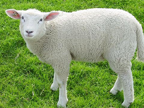 Lamb on the dyke