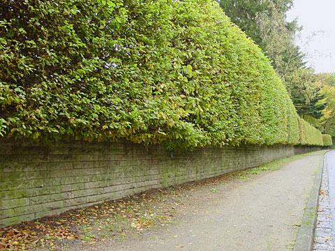 Lengthy hedge