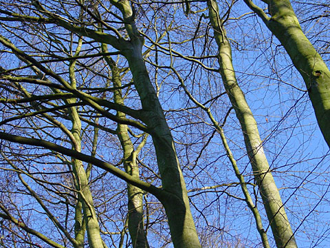 Boughs in the sky