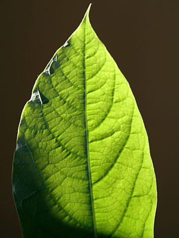 Avocado leaf