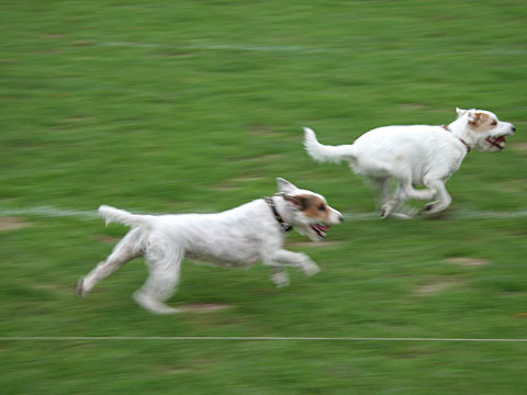 Running Terriers I
