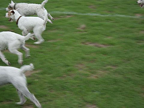 Running Terriers II