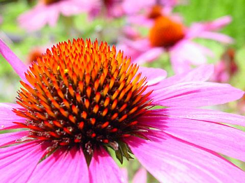 Echinacea purpurea II