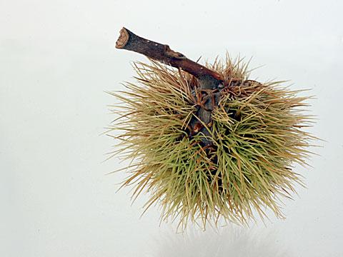 Chestnuts IV