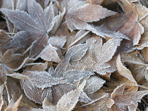Frosty leaves I