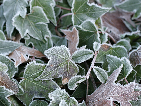 Frosty leaves II