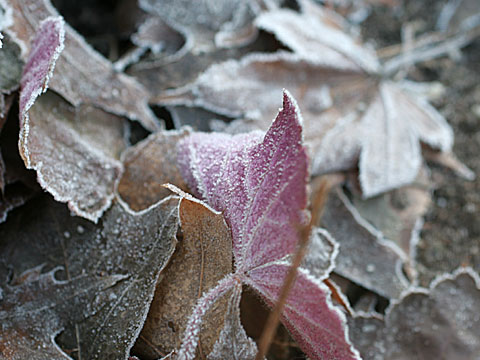 Frosty Leaves IV