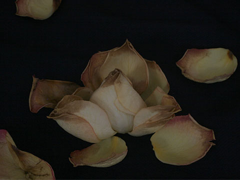 Wilted roses 01