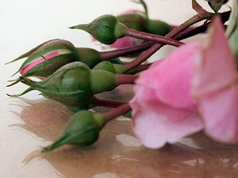 Rosebud 03
