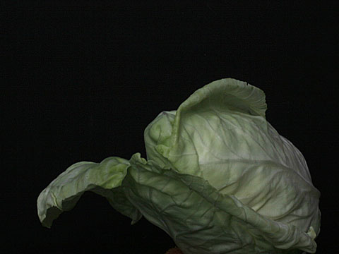 Pointed cabbage 01