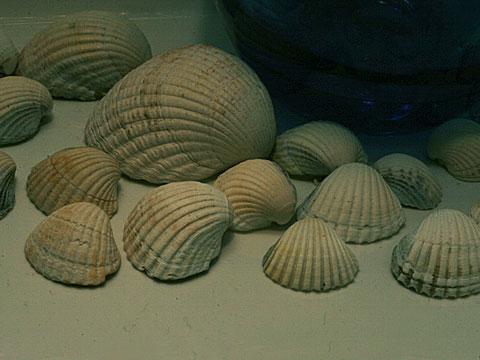 Seashells 04