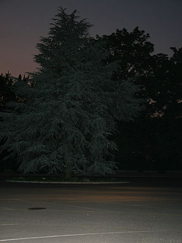 Fir at Night 02