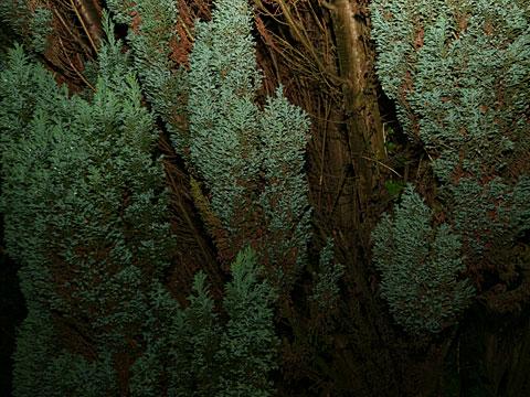 Conifer Dream 21