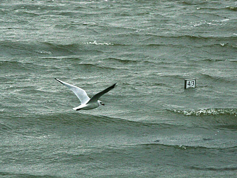 Sea Gull 4/3