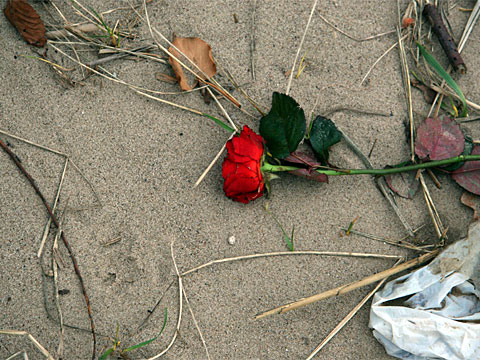 Red Rose on the Beach