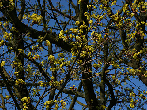 Yellow Blossoms