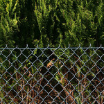 conifer and fence