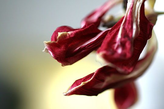 Withered red Tulip 02