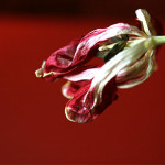 withered red tulip