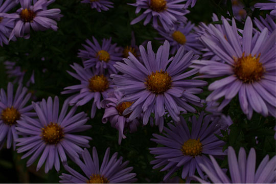 Last of the Asters