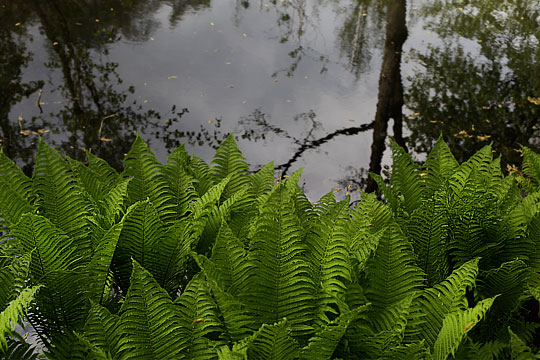 Green Fern over black Water