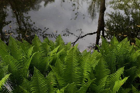 Green Fern over black Water