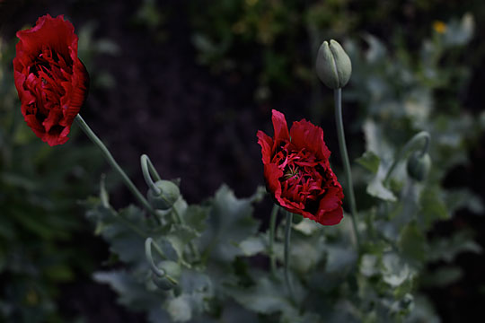 Where the red Poppy grow