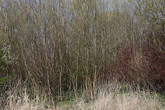 Brushwood 03