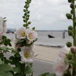 Alcea rosea-150x150.jpg